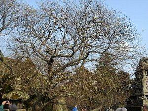 ミドリヨシノ桜